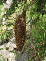 ミツバチの分蜂が